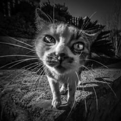 Cat (josemariaruizfotografia.com) Tags: gato animal blancoynegro blanco negro felino ojos bigote patas orejas mirada cat blackandwhite white black feline eyes moustache legs ears look triste alegre pena pedir vista sad cheerful pain ask view bnw monochrome instablackandwhite monoart instabw bnwsociety bwlover bwphotooftheday photooftheday bw instagood bwsociety bwcrew bwwednesday instapickbw bwstylesgf iroxbw igersbnw bwstyleoftheday monotone monochromatic noir fineartphotobw