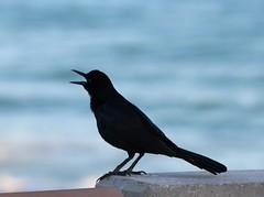 Morning Shout Out (jmaxtours) Tags: bird blackbird pier junobeachpier junobeach ocean atlanticocean atlantic call shoutout morning jupiter jupiterflorida florida fla fl