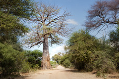 Just Passed the Baobab Tree _6371-2 (hkoons) Tags: southernafrica africa african baobab namibia tree ancient arbor bloom blossom branch branches bud buds canopy color flora flower green growth large leaf leaves limb limbs old outdoors panorama plants roots soil stem sun sunshine trees trunk vegetation