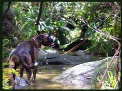 Setting for dressing (busyBlueMtsGranny) Tags: ddogchal boxer dog waterhole