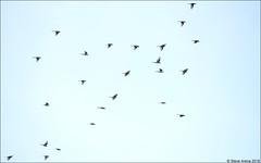 Ashy Minivet (Pericrocotus divaricatus) Migrating (Steve Arena) Tags: pericrocotusdivaricatus ashyminivet minivet birds bird birding migration migrant fallmigration khaodinsor chumphon chumphonprovince thailandbirding2018 thailand 2018 nikon d750