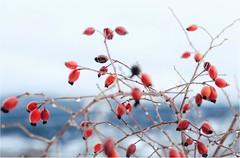 Winter fruit (PattyK.) Tags: vasilitsa grevena greece grecia griechenland makedonia macedonia winter jaunuary 2019 nikond3100 snapseed snow cold mountain nature βασιλίτσα γρεβενά μακεδονία ελλάδα χειμώνασ ιανουάριοσ χιόνι βουνό φύση red κόκκινο