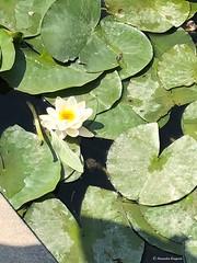 nenuphar© (alexandrarougeron) Tags: photo alexandra rougeron flickr fleurs nature plante végétal végétale ville beauté couleur frais