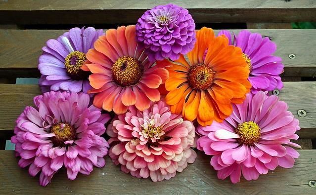 Обои цветы, букет, цинния картинки на рабочий стол, раздел цветы - скачать