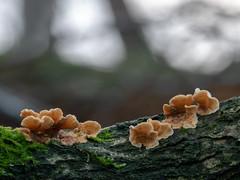 Stereum hirsutum (Obas123) Tags: mushroom mushrooms fungus fungi forest macro