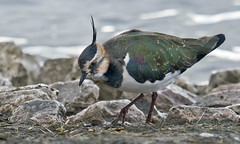 Lapwing On The Hunt For Food (maggie.henfield) Tags: lapwing martinmere