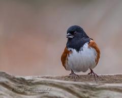 Eastern Towhee (male) (Bill McDonald 2016) Tags: towhee eastern avian late november 2018 perched perching ontario canada male billmcdonald wwwtekfxca