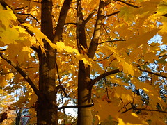Trees (cloversun19) Tags: romantic october september russia russian car road street blue sky maple leaves town city light sun yellow autumn trees tree rain animal field grass landscape branches foliage spb walking country holiday holidays park garden dream dreams positive forest happy view grey legend fairytale fir firtree birch village evening leaf