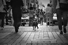 Look back at (reiko_robinami) Tags: streetphotography street urban outdoors monochrome blackandwhite dog yokohama japan