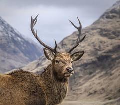 Doe Magnet (EXPLORE) (SkyeWeasel) Tags: scotland glenetive deer reddeer cervuselaphus animal wildlife nature ruminant mammal antlers portrait stag ngc npc