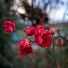 Red & wet (.: mike | MKvip Beauty :.) Tags: sony⍺7markiii sony⍺7iii sonyilce7m3 sonyalpha7m3 ⍺7iii ilce7m3 sonyalpha sony alpha emount fe ibis viltroxfe20mmƒ18 pfurbmhasphviltrox 20mmfƒ18 20mm ƒ18 ultrawideangle closeup macro makro wideanglemacro handheld availablelight naturallight backlight backlighting shallowdof bokeh bokehlicious beyondbokeh extremebokeh smoothbokeh nature flower rose wet water drops waterdrops winter wörthamrhein germany europe mth mkvip ngc