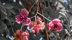 Flowers (maytag97) Tags: maytag97 nikon d750 selective color pink lavender outdoor outside sunlit blossom bloom spring season closeup up close