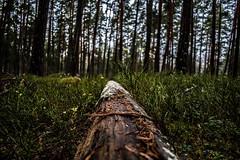Dead tree (real.jtj) Tags: skogen skog woods wood falun dalarna hosjö sweden sverige nature old forest