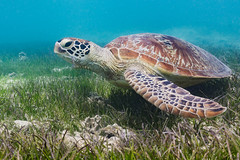 Grass munching || Amadee Island (David Marriott - Sydney) Tags: newcaledonia nc amadee island turtle green sea grass underwater snorkel ikelite wide angle ocean lagoon bay