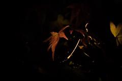 Autumn (seaflanker1) Tags: tokugawaen nagoya autumn sal135f18z sonnart135mmf18za sonnar zeiss α7ⅲ sony