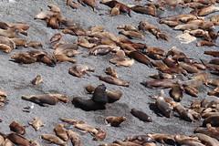 2018-102527 (bubbahop) Tags: 2018 antarcticatrip puertomadryn argentina punta loma natural reserve sealions animals