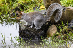 Squirrel (32) (Mal.Durbin Photography) Tags: wildlifephotography maldurbin naturephotography wildbirds forestfarm nature naturereserve