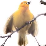 Taveta Golden Weaver thumbnail