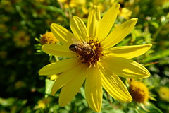 Bee and yellow flower (ZdenHer) Tags: bee yellow flower macro canonpowershotg7xmarkii garden