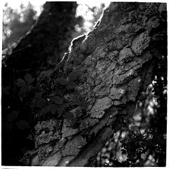 Björk i motljus / Backlit birch (Mattias Lindgren) Tags: autumn sverige medium format 6x6 sweden pentacon six tl film iso 100 mf f28 120film scan fomapan 80mm bw höst foma analog mc biometar 2880 carl zeiss jena mcbiometar2880carlzeissjena foma100 fomapan100 iso100 mediumformat pentaconsixtl 2018recap