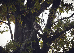 Barred owl hunting in the late afternoon. Forest Park. (amy buxton) Tags: forestpark forest savanna prairie woods owl barredowl fall autumn amybuxton stlouis nature natural birds