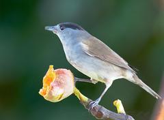 Desayuno Part II (joseramongonzalez544(Checha)) Tags: ave bird pajaro nikkor nikon 500mm tc14iii galicia fauna