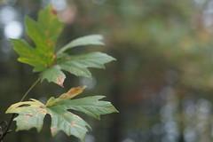 Mt Tabor (Tony Pulokas) Tags: blur bokeh mttabor mounttabor mounttaborpark portland oregon tree forest maple bigleafmaple flower tilt autumn fall