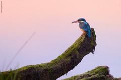 El Rey Pescador (Roberto Graña) Tags: asturias aves fauna pajaros birds martinpescador alcedoatthis kingfisher nikon sigma morning light luz verderrios picapexe