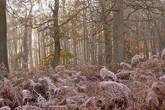 Frozen Forest (Englepip) Tags: forest trees bracken frost leaves winter autumn fall sunlightthroughtrees