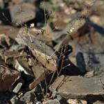 redtip threadplant, Nemacladus orientalis thumbnail