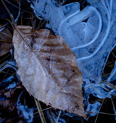 black, brown and blue (marinachi) Tags: sundaylights somethingfortheweekend ice blue braun black abstraction abstract winter leaf