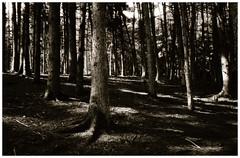 Forest (Claudio Taras) Tags: claudio contrasto canona1 analogica analogico alberi film fomapan filmisnotdead foresta 35mmfilm bw bokeh biancoenero bokehlicious rodinal pushed taras trier