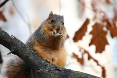 Fox Squirrels in Ann Arbor on an Autumn day at the University of Michigan - December 4th, 2018 (cseeman) Tags: gobluesquirrels squirrels foxsquirrels easternfoxsquirrels michiganfoxsquirrels universityofmichiganfoxsquirrels annarbor michigan animal campus universityofmichigan umsquirrels12042018 fall autumn eating peanuts acorns decemberumsquirrel snow snowy