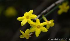 Dancing in the Dark (keithhull) Tags: jasminumnudiflorum winterjasmine shrub flower winter yellow ourgarden hull 2018 explore