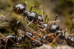 Lasius fuliginosus (Michal Kukla) Tags: ant ants macro photography macrophotohtaphy formicidae formicinae hymenoptera lasius insect insects black animal wildlife