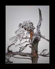 Am Feldberg im Taunus (nordelch61) Tags: deutschland hessen taunus mittelgebirge heimat feldberg bäume wald schnee ast zweig zweige wind winter forest tree snow