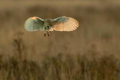 Barn Owl, Burwell Fen, Cambridgeshire, UK (1) (Nick Bowman1) Tags: sony500f4gssm sonyilca99m2 uk burwellfen suffolk barnowl