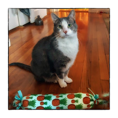 The Gift (Timothy Valentine) Tags: 2018 cat happycaturday christmas skeptical quinnomannion 1218 crinklycatnipinfusedthingamabob home gift eastbridgewater massachusetts unitedstates us