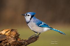 Blue Jay (Jamie Lenh Photography) Tags: nature wildlife birds bluejay ontario canada winter jamielenh