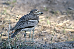 Water Thick-knee (Burhinus vermiculatus) (Ardeola) Tags: waterthickknee thickknee burhinusvermiculatus vattentjockfot krugernationalpark kruger bird wildlife