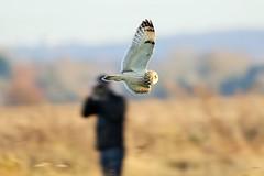 Short Eared Owl (merseymouse) Tags: owlshunting birds shortearedowl inexplore explored