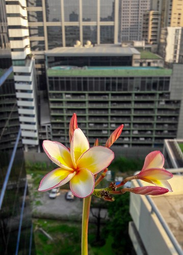 Frangipani or Plumeria blossoms in the big city (Bangkok)