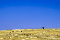 l'albero che si sentiva solo (natoilventitremarzo) Tags: natura paesaggio albero cielo azzurro giallo colori campagna collina sicilia