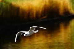 Bird in flight (Jurek.P) Tags: birds bird ptaki ptak mewa seagull inflight autumn water jurekp sonya77