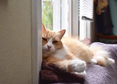 Jimmy looking pensive (rootcrop54) Tags: jimmy orange ginger tabby male longhair longhaired window sofa couch cat neko macska kedi 猫 kočka kissa γάτα köttur kucing gatto 고양이 kaķis katė katt katze katzen kot кошка mačka gatos maček kitteh chat ネコ cc100 cc300