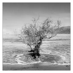 Tree and tide (Wilco1954) Tags: corse square corsica tide h500 tree capcorse mono golfedesaintflorent film