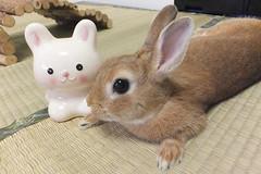 Ichigo san 1491 (Errai 21) Tags: いちごさん ichigo san  ichigo rabbit bunny cute netherlanddwarf pet ウサギ うさぎ いちご ネザーランドドワーフ ペット 小動物 1491