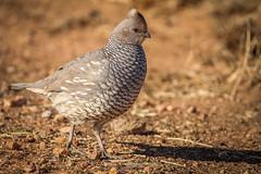 IMG_0802 (Sebastian Orue) Tags: birds birding nature texas animal bird tree tamron canon7d canon grassland biology conservation wood scaled quail callipepla squamata