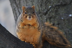 212/365/3864 (January 9, 2019) - Fox Squirrels in Ann Arbor at the University of Michigan - January 8th & 9th, 2019 (cseeman) Tags: gobluesquirrels squirrels foxsquirrels easternfoxsquirrels michiganfoxsquirrels universityofmichiganfoxsquirrels annarbor michigan animal campus universityofmichigan umsquirrels01092019 winter eating peanuts acorns januaryumsquirrel snowy snow 2019project365coreys yearelevenproject365coreys project365 p365cs012019 356project2019