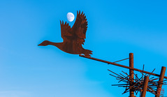 Take the Moon for a Ride (Mitymous) Tags: birds fall2018 goosepond moon swans twilight wisconsin